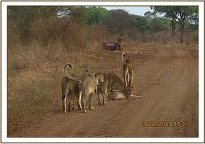 A herd of lions sighted during patrol