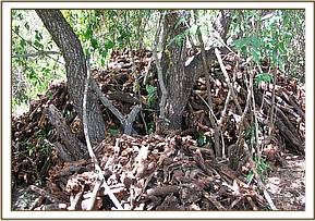 A pile of harvested sandle wood