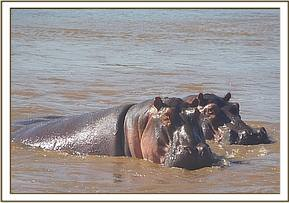 Hippos sighted at galana river
