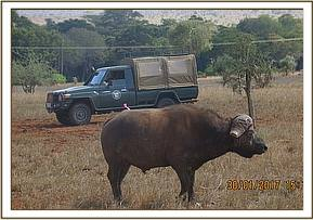 An already darted  buffalo