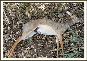 Dikdik snared at Mangerete