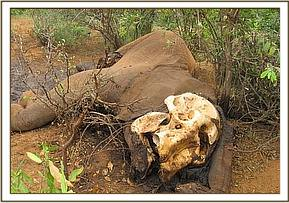 Carcass of the poached elephant deep in triangle