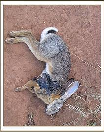 Hare carcass possibly killed by predator