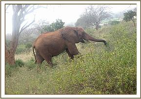 An elephant spotted browsing