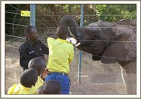 Kisou pupils feed baby elephants