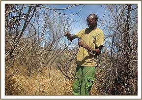 lifting elephant snare at Mbulia Ranch