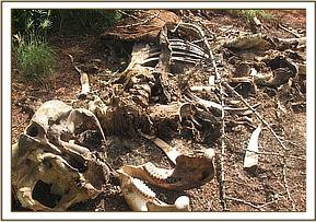 Remains of poached elephant in Sagalla Ranch