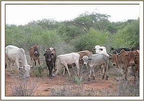 Illegal cattle grazing
