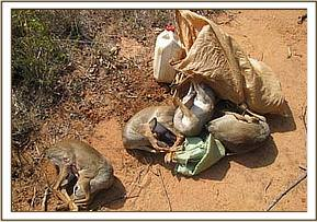 Six dead snared dikdik ready for sale at market