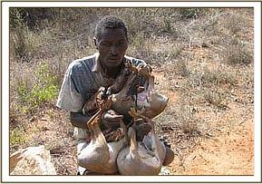 Poacher with dead snared dikdiks