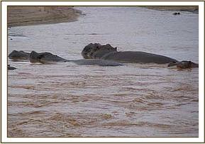 Hippos seen during the trip