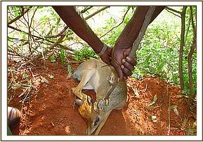 A  dik dik is rescued from a snare and set free