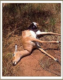 A snared impala at Taita