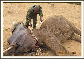 Treating the elephant's wounds with the Vet
