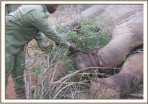 Carcass of a snared elephant