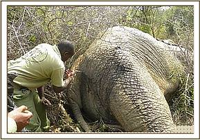 Elephant carcass with arrow wounds
