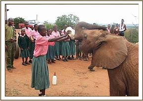A student feeding one of the elephants