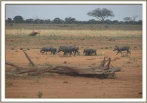 Warthogs seen during the field trip