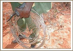 A desnaring team member with collected snares