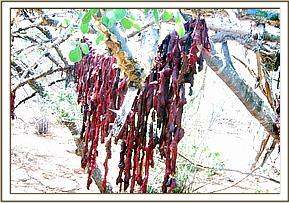 Lesser kudu meat drying in the tree