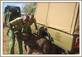 Orphaned elephant rescue