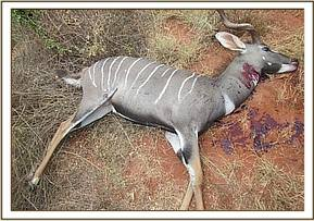 Male lesser kudu ran over by a minibus at kanga