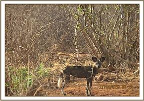 Wilddogs sighted at Kanziku area