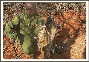 Lesser Kudu skin found by team in Umbi area