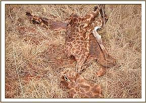 Slaughtered giraffe found in Ngutuni