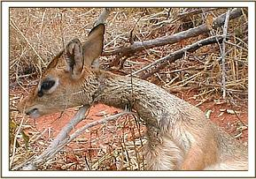 Snared dikdik found in Ngutuni