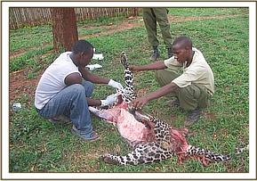 Skinning the dead leopard