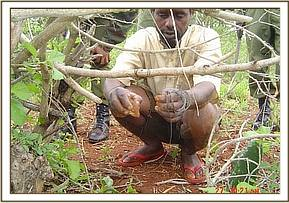 Arrested poacher lifting one of his snares