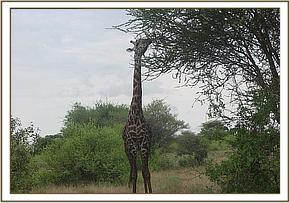A giraffe spotted during the game drive