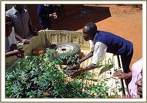 Removing seedlings from the back of a pickup