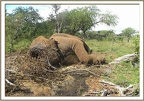 Poached elephant using poisoned arrows
