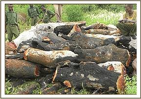 Logged wood at Rukinga ranch
