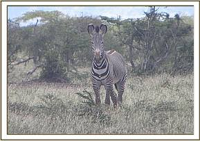 A grevy zebra at Taita ranch