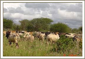 Cattle incursion in the park