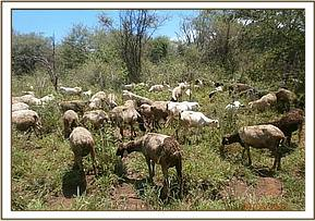 Illegal Grazing in Chyulu NP