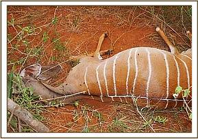 Dead Kudu removed from a snare
