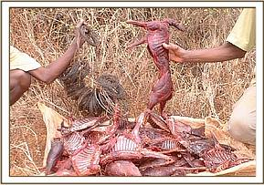 Snares and Dikdik meat recovered from poachers