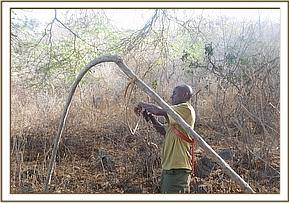 Poachers set up an elephants snare at Yatta area