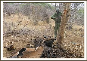 Removing a snare from an elephant carcass