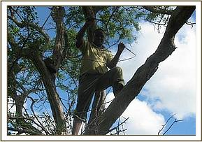 Removing giraffe snares from trees