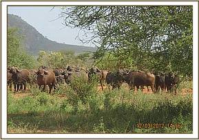 A herd of buffalo seen during a game drive