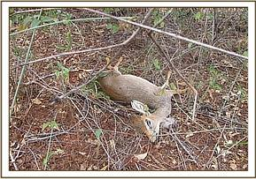 A dikdik trapped in a snare