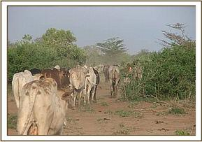 Illegal cattle grazing in the Park