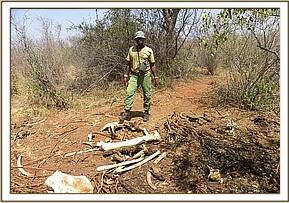 An elephant carcass near Mtito river