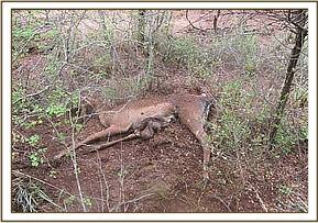 A snared Impala in Lualenyi Ranch