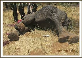 An elephant carcass shot during HWC